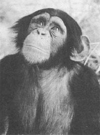 Χιμπατζής, συγγενής του ανθρώπου.