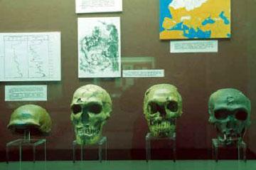 Οι συλλογές του Ανθρωπολογικού Μουσείου καλύπτουν όλες τις φάσεις της εξελικτικής πορείας του ανθρώπου.
