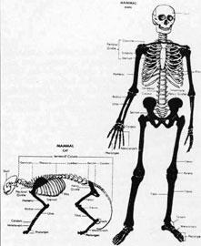 Συγκριτική ανατομία ανθρώπου – γάτας.