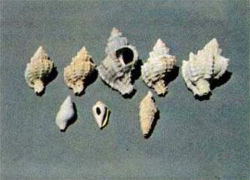 Πορφύρες και άλλα όστρακα για την κατασκευή της βαφής από το Κουφονήσι. Από τις τρύπες αφαιρούσαν το «άνθος».
