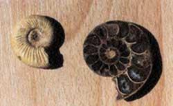 Ιζηματογενές πέτρωμα με αμμωνίτη (ολόκληρο και σε τομή).