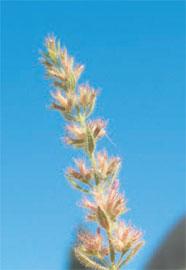 Micromeria acropolitana. Το στενότοπο ενδημικό ξαναβρέθηκε στην Ακρόπολη ύστερα από 101 χρόνια.