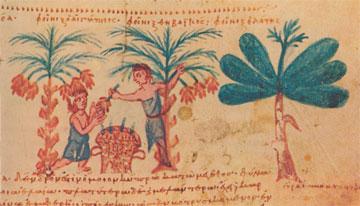 Απεικόνιση επεξεργασίας των καρπών του φοίνικα. Μικρογραφία χειρογράφου, 12ος αι. Μονή Μεγίστης Λαύρας, Άγ. Όρος.