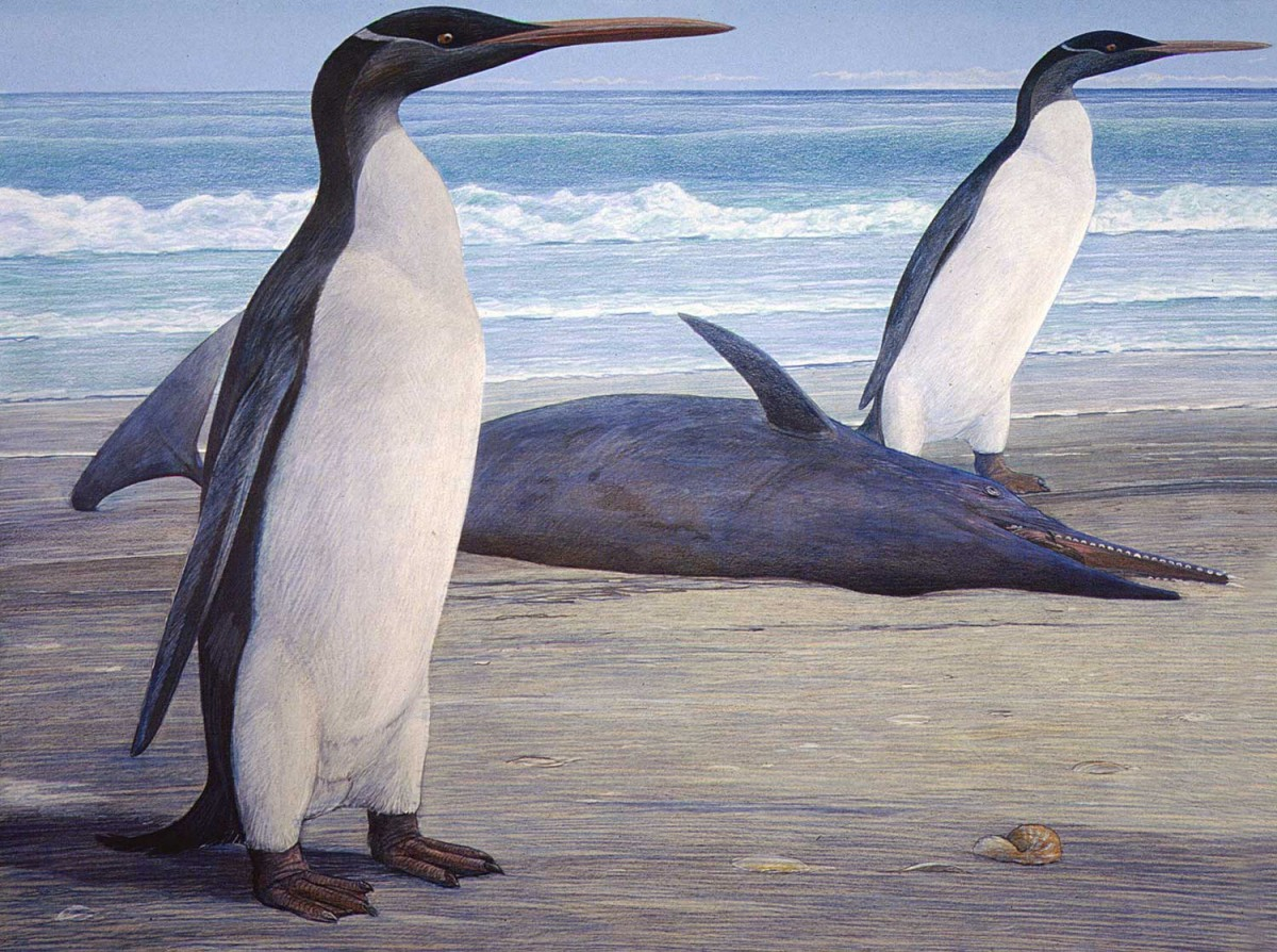 What the Kairuku would have looked like, according to University of Otago scientists who reassembled fossils of the giant prehistoric penguin.