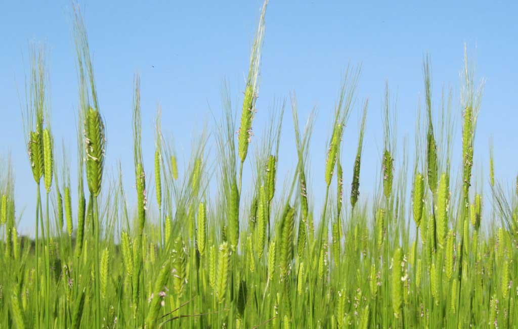 The researchers have found cereal-based agriculture including emmer, einkorn and barley.