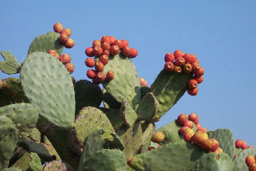 The prickly pear (opuntia ficus indica).