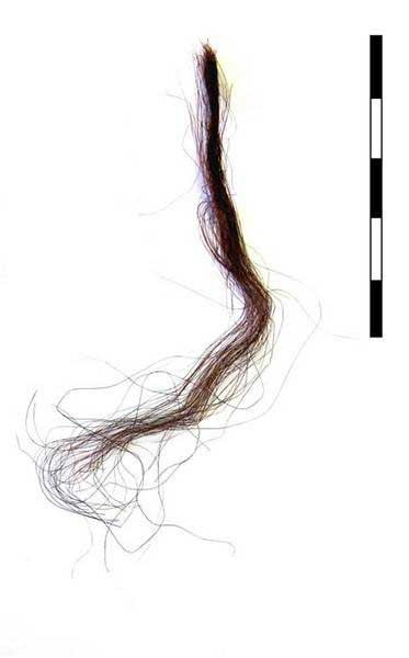Human Hair from Nunalleq. Image: University of Aberdeen.