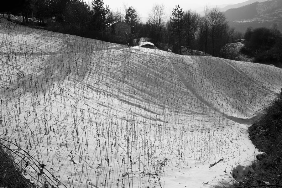 Tobacco field in snow.