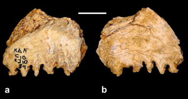 Kalamakia. Cranial fragment. (a) Ectocranial and (b) endocranial views. Scale in centimetres. Source: ScienceDirect.