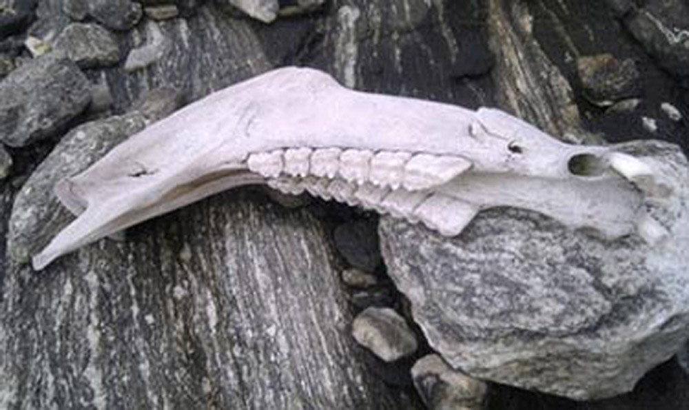 Jaw bone from a horse found in a glacier in Oppland, Norway.