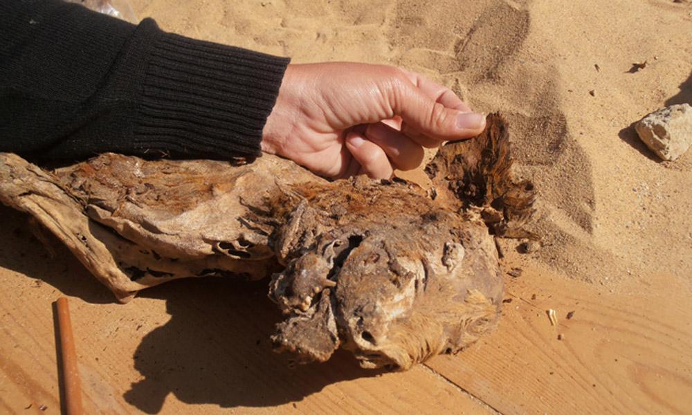 Dog mummy from El Deir, Egypt. GrecoRoman period. Photo: Martine Fayein.