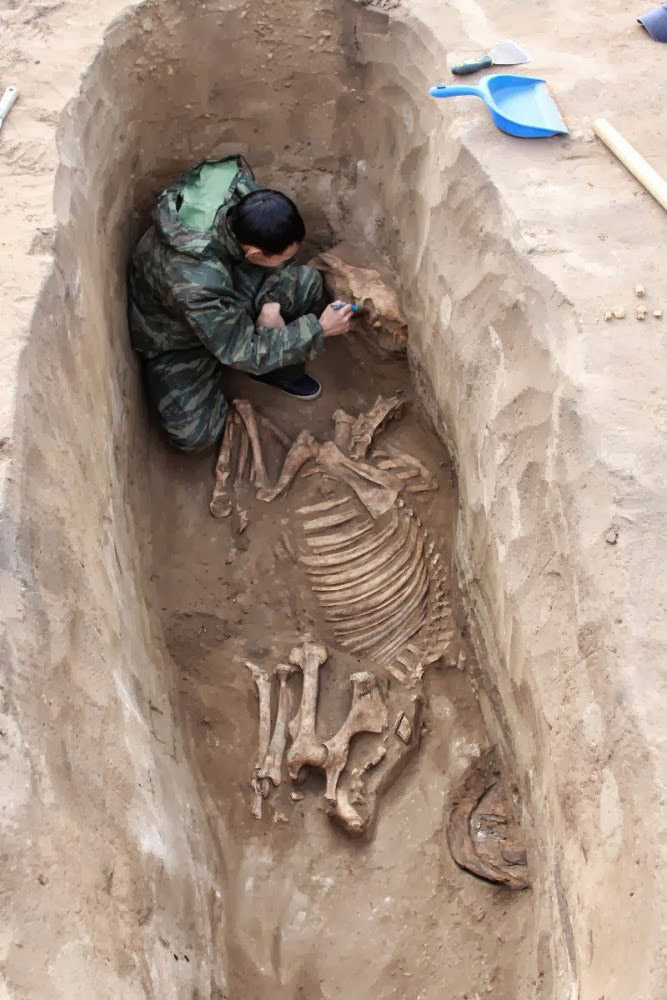 Remains of a horse from a warrior's tomb at Pavlodar, Kazakhstan. Photo: tengrinews.kz