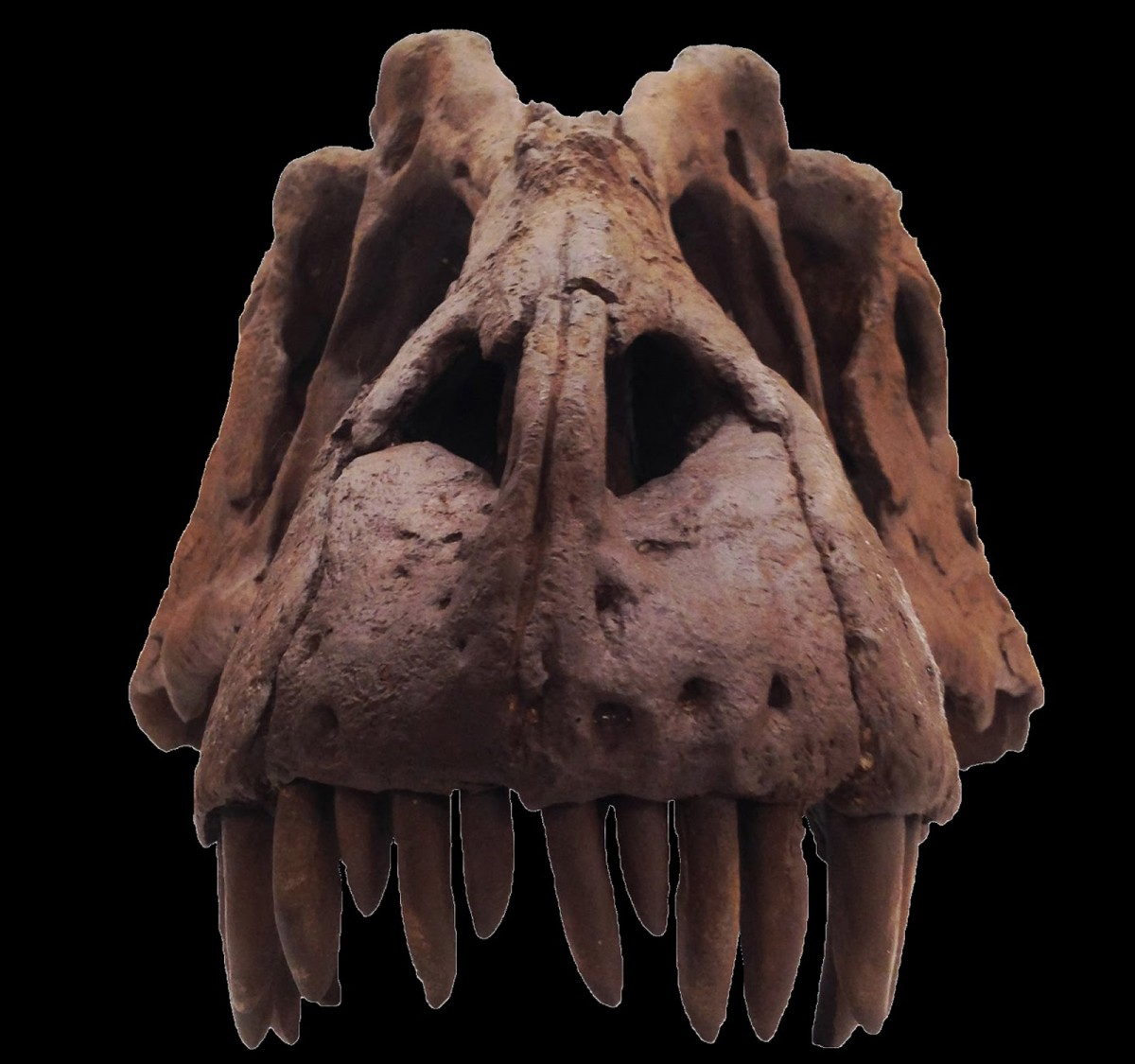Lythronax argestes, reconstructed scull containing original fossil. Photo: Mark Loewen, NHMU.