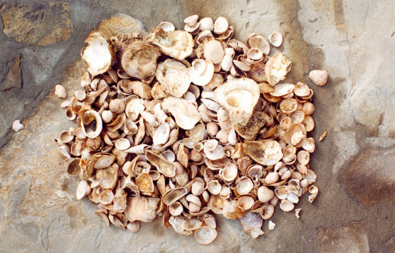 Fig. 1. An abundance of Bronze Age shells in the apsidal room of Trench 2.