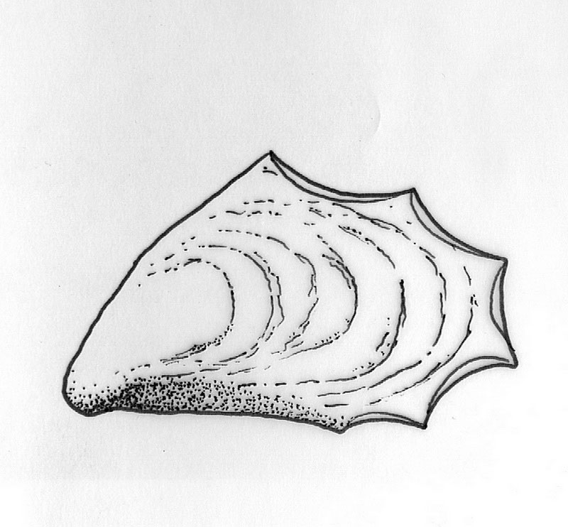 Fig. 2. Mytilus galloprovincialis from the Late Bronze Age.