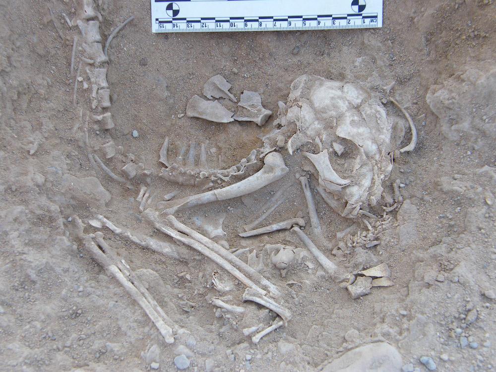 Skeletal remains of a cat. Hieraconpolis, Egypt, c. 3800-3600 BC. Photo: Hierakonpolis Expedition.