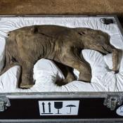 Baby mammoth Lyuba goes on show