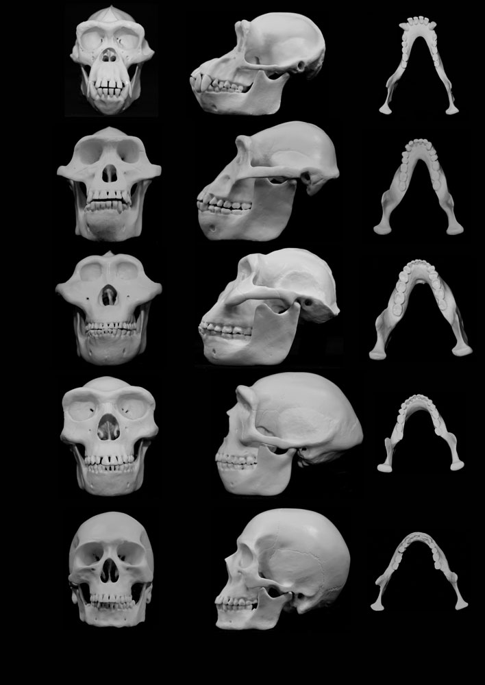 David Carrier and Michael H. Morgan contend that human faces evolved to minimize injury from punches to the face during fights between males. Credit: University of Utah