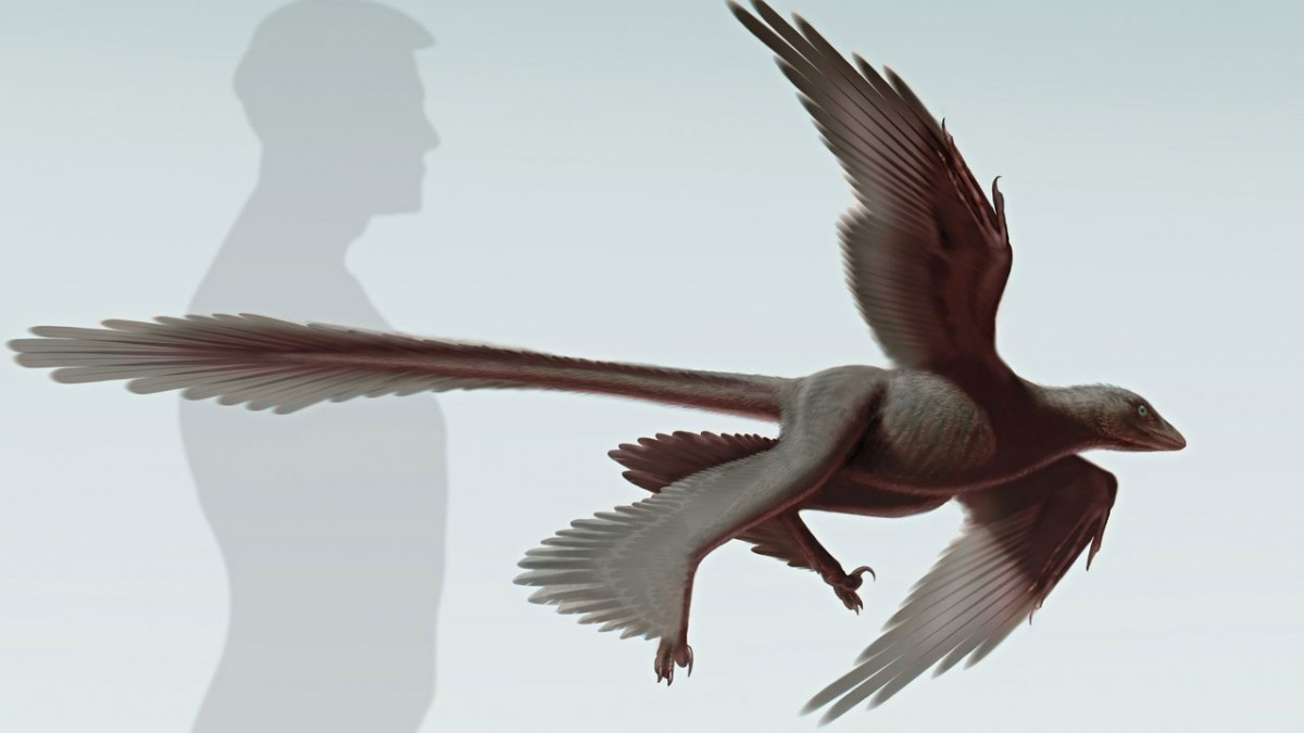 An artist's impression of the new species of four-winged, microraptor dinosaur Changyuraptor yangi. Illustration: Stephanie Abramowicz/Dinosaur Institute, NHM.