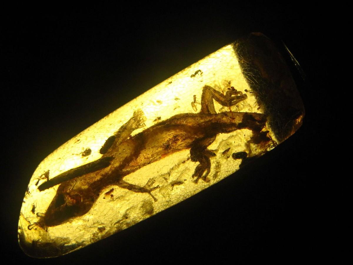 Oligocene era gecko trapped in amber. Image: PG Palmer.