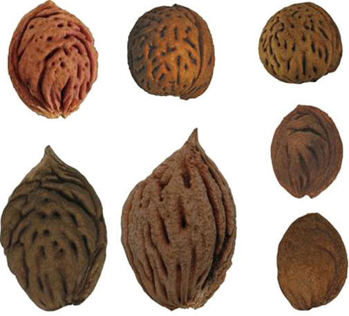 Different sizes of peach stones examined in study. Courtesy of Gary Crawford.