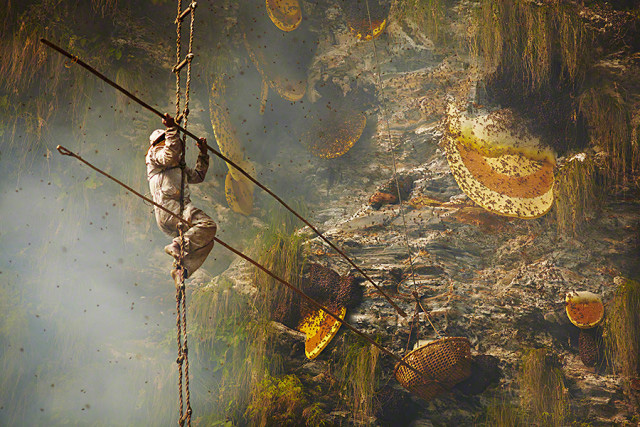 A honey hunter in Himalayan central Nepal. Photo: Andrew Newey