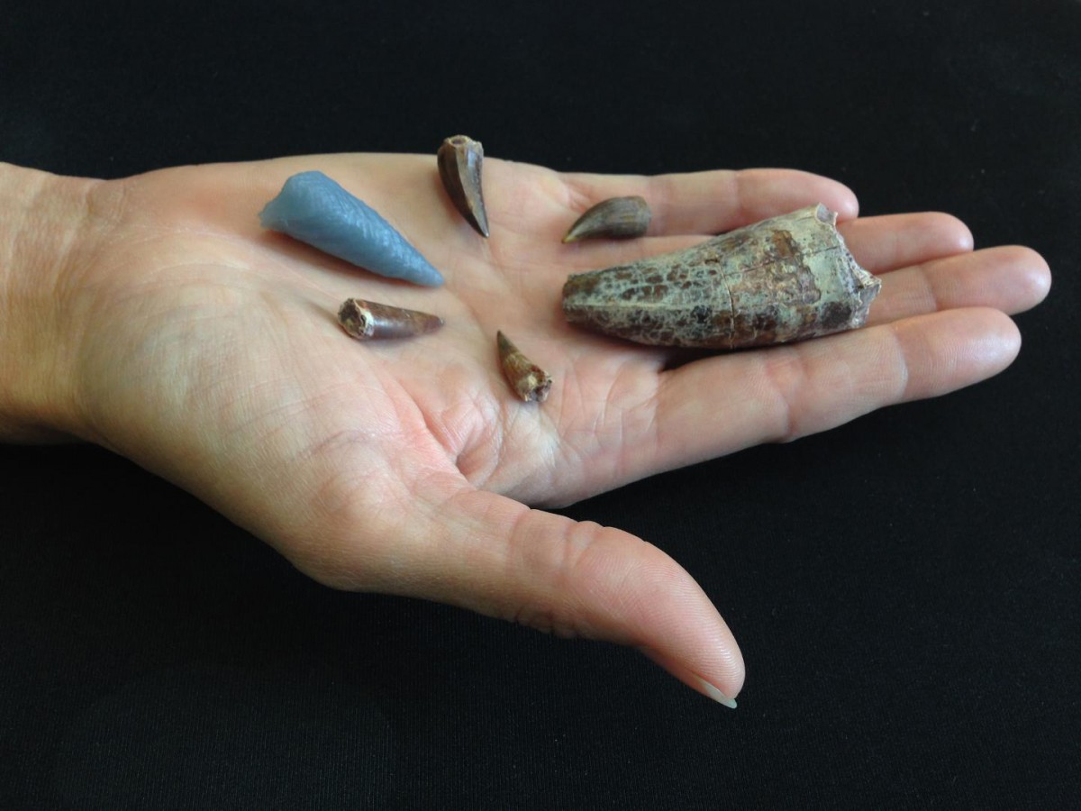 This image shows teeth from phytosaurs, a reptile from the Triassic Period, that lived about 210 million years ago in the western United States. Credit: Michelle Stocker
