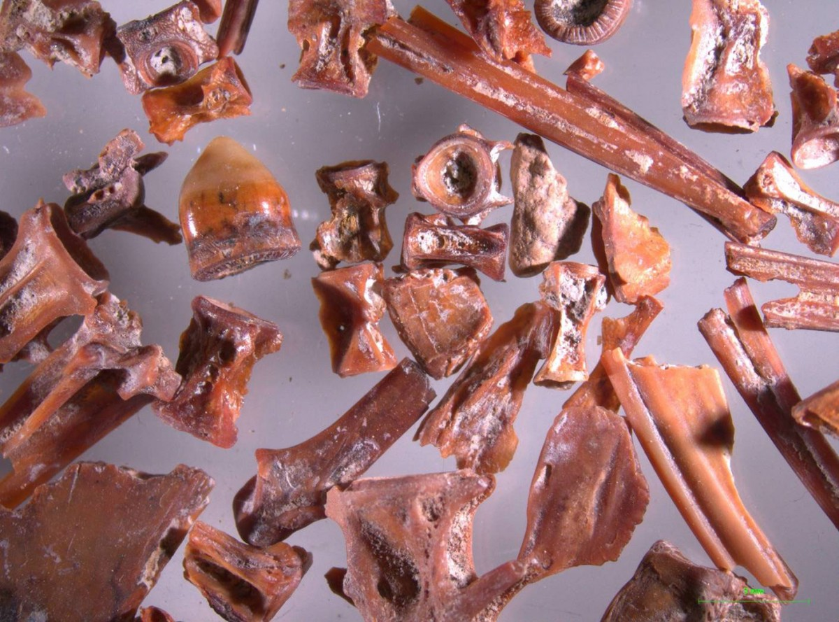 Fig. 9. Fish bones from Akrotiri, Thera. They are all from very small fish of the shallow waters.