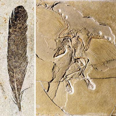 This image shows the fossil feather and skeleton of the iconic dinosaur Archaeopteryx. Credit: Museum für Naturkunde Berlin.
