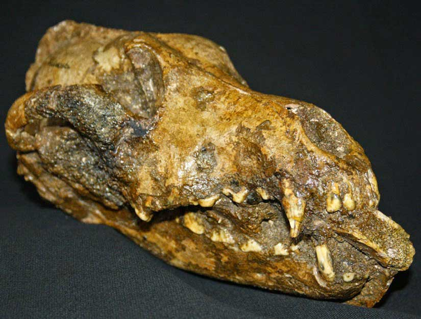 Skull of a Palaeolithic dog from Předmostí I. Photo: Moravian Museum, Brno.