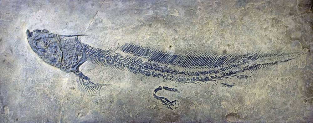 Triodus belongs to the Xenacanthiformes, an extinct group of cartilaginous fish. These fishes were widespread within freshwater environments and were equipped with a harpoon-like head spine. The fossil shown on the photo was found in Permian rock layers of the Saar-Nahe Basin in southwest Germany. (Image: Urweltmuseum GEOSKOP)