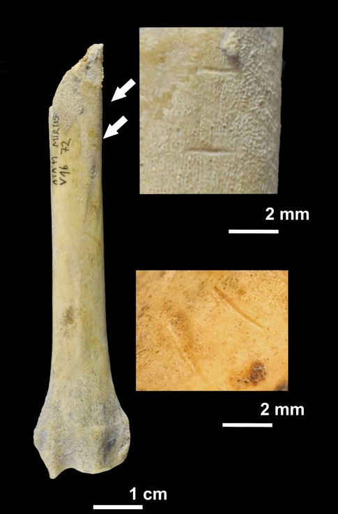 Dog radius fragment with cut marks (Credit: IPHES)