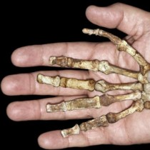 Early ancestors used their hands like modern humans