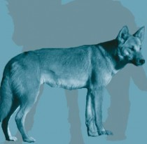 Study of ancient dogs in the Americas yields insights into human, dog migration