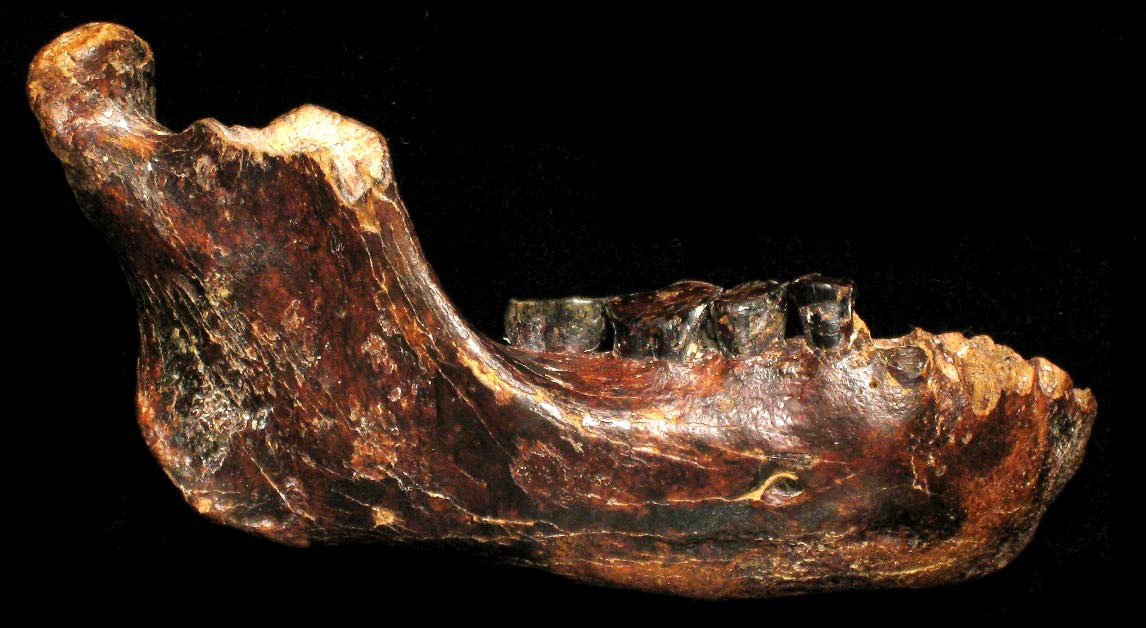 Fossilized jawbone, dubbed Penghu 1, found submerged in seafloor near Taiwan. Dated between 10,000 and 190,000 years ago. Credit: Y. Kaifu.