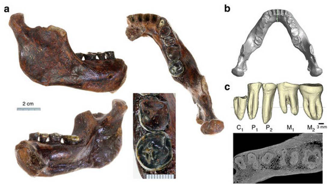 The Penghu 1 mandible, jaw and teeth in various orientations.