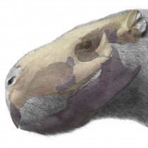The giant pacarana used its teeth as tusks