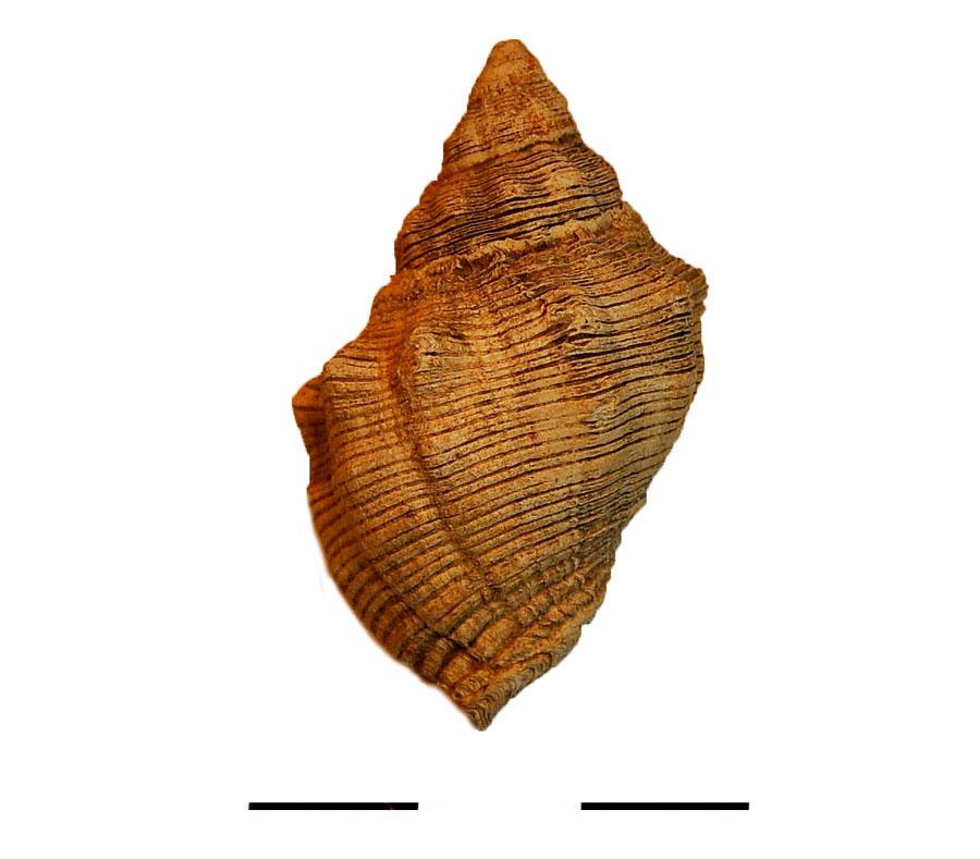 Fig. 4. Purple shell of the Thais haemastoma variety.