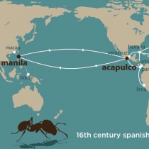 From Acapulco to the Philippines: The journeys of the fire ants