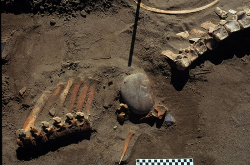 Bones of a prehistoric horse found near a Canadian reservoir points to evidence that humans migrated to North America earlier than previously thought, according to a new study published today. Photo courtesy of Michael Waters.