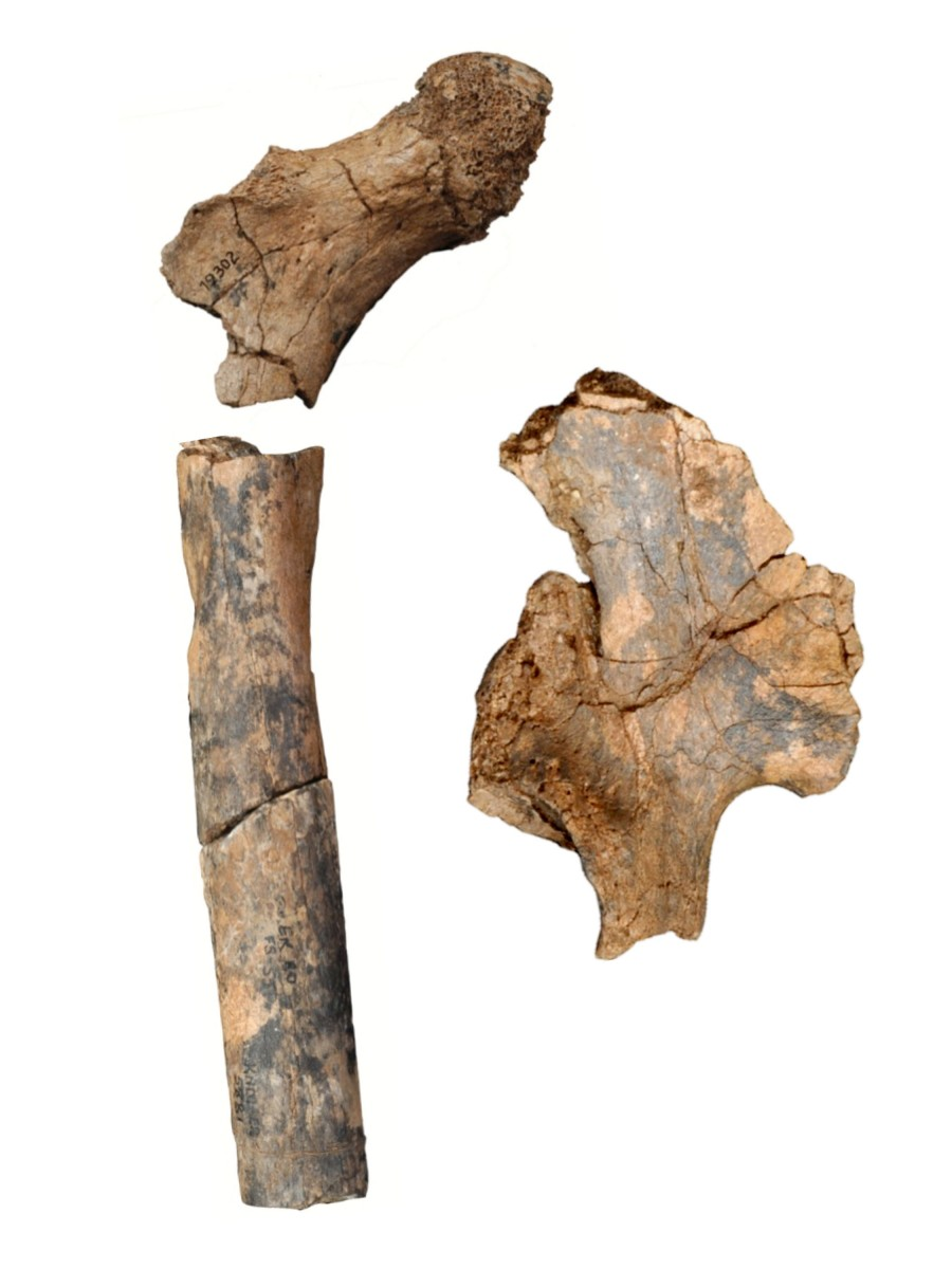 1.9 million-year-old pelvis and femur bone fossils of early humans in Kenya reveal that there were more distinctive species of early humans than previously thought. Photo Credit: University of Missouri.