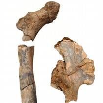 Ancient fossils reveal diversity in body structure of human ancestors