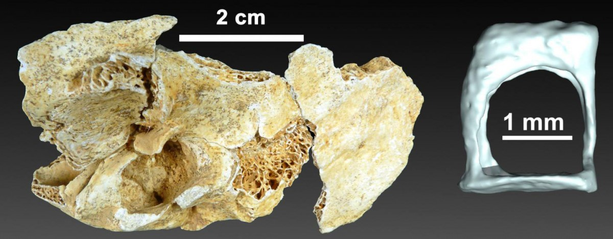 This is a 3-D reconstruction of the auditory ossicle of a two-year-old Neanderthal. Credit: UPV/EHU.