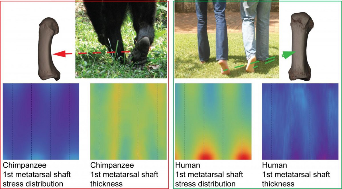 Consensus maps of chimps and humans show difference in the patterns between two functional groups for hallucal metatarsal shafts. Credit: Wits University.