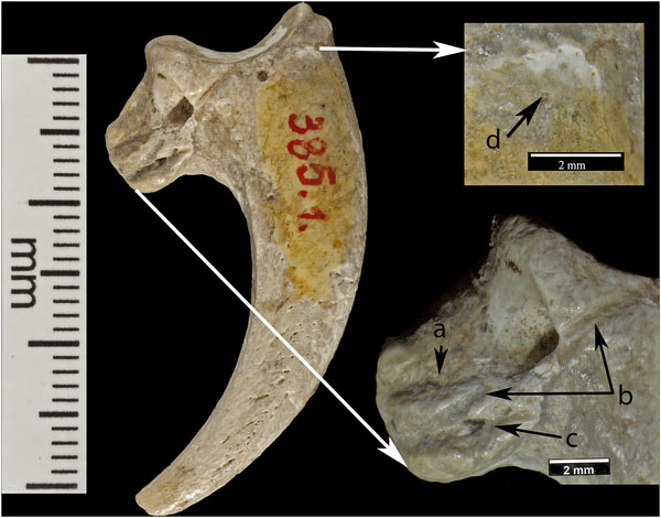 Three cut marks are preserved on the lateral surface: (a) a short superior cut mark; (b) a long cut mark interrupted by the foramen; (c) a short inferior mark. Edges of most cut marks are not sharp. An abraded area (d) occurs near the proximal edge of the joint. Photo Credit: PLOS ONE.