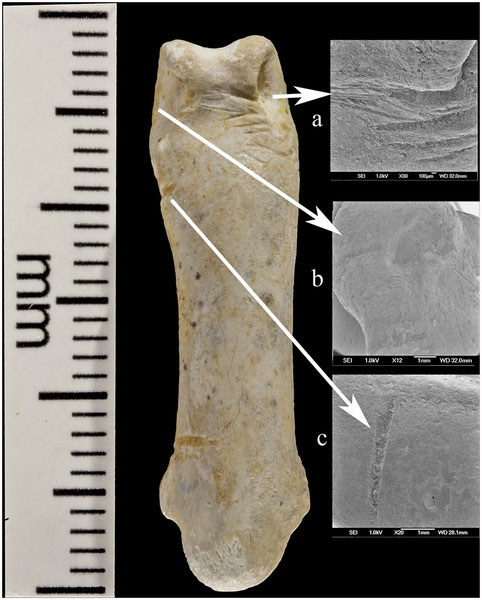 Cut marks are evident on this fragment. Photo Credti: PLOS ONE.