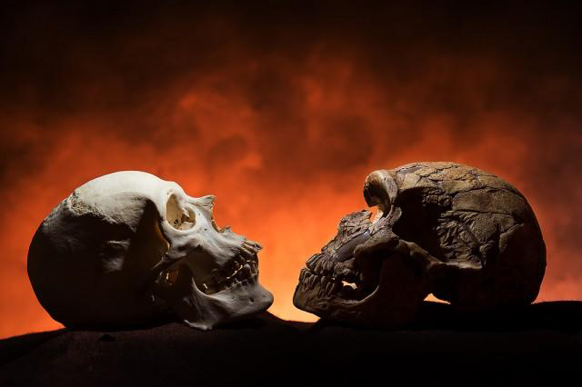 Notice how the modern skull, on the left, has a point at the bottom of the face compared to the Neandethal-era skull on the right. The reason: Only modern humans have chins. Photo illustration by Tim Schoon.