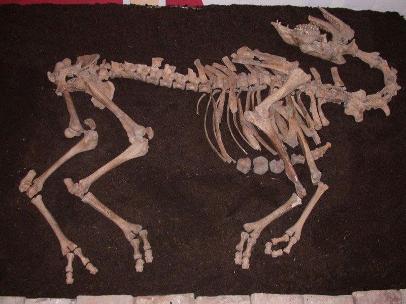 The camel skeleton was unearthed near the river Danube in Tulln, Austria. Photo Credit: Alfred Galik/Vetmeduni Vienna.