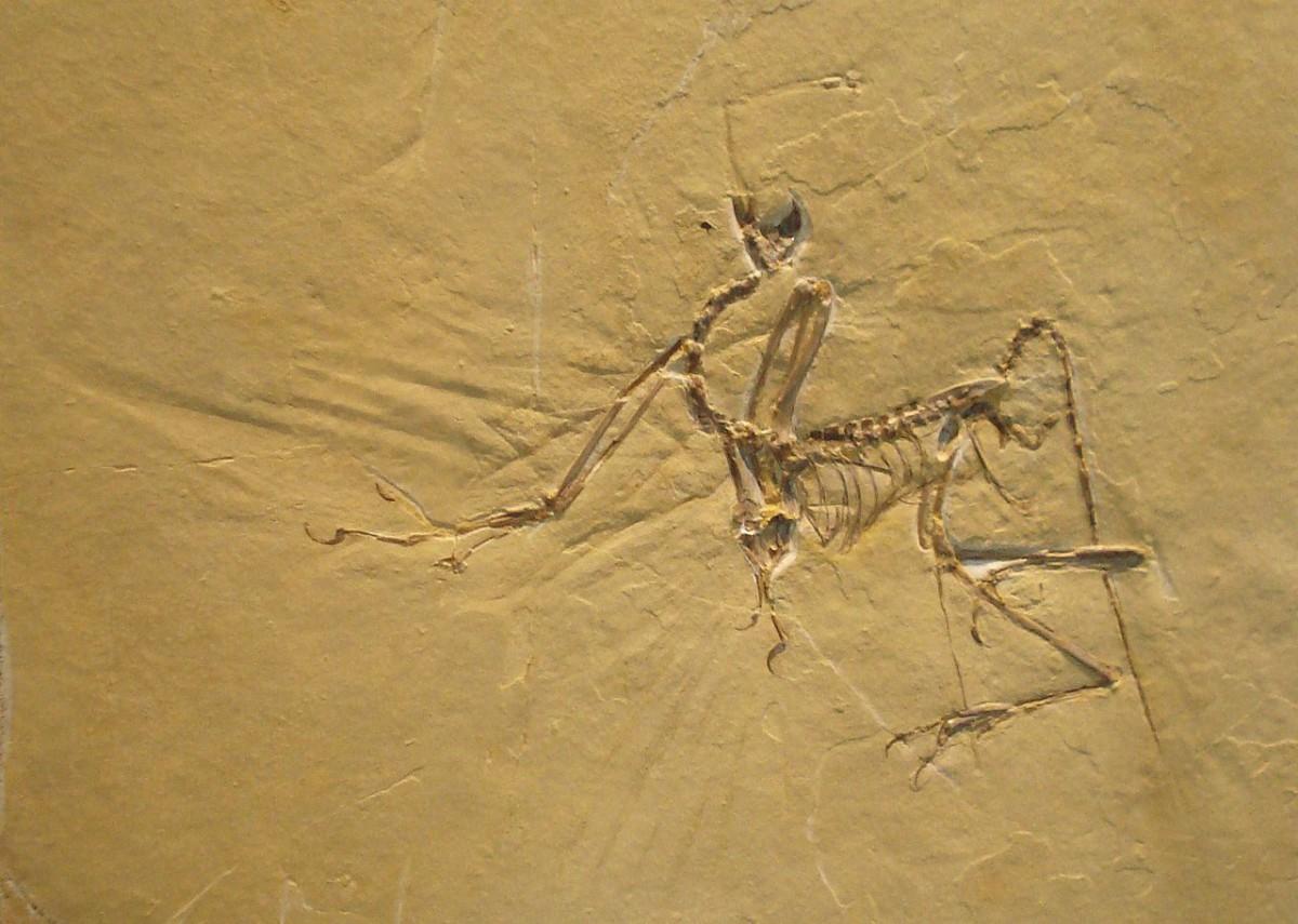 Fossil of Archaeopteryx. Jura Museum Eichstaett