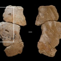 Neanderthals were attacked by large carnivores